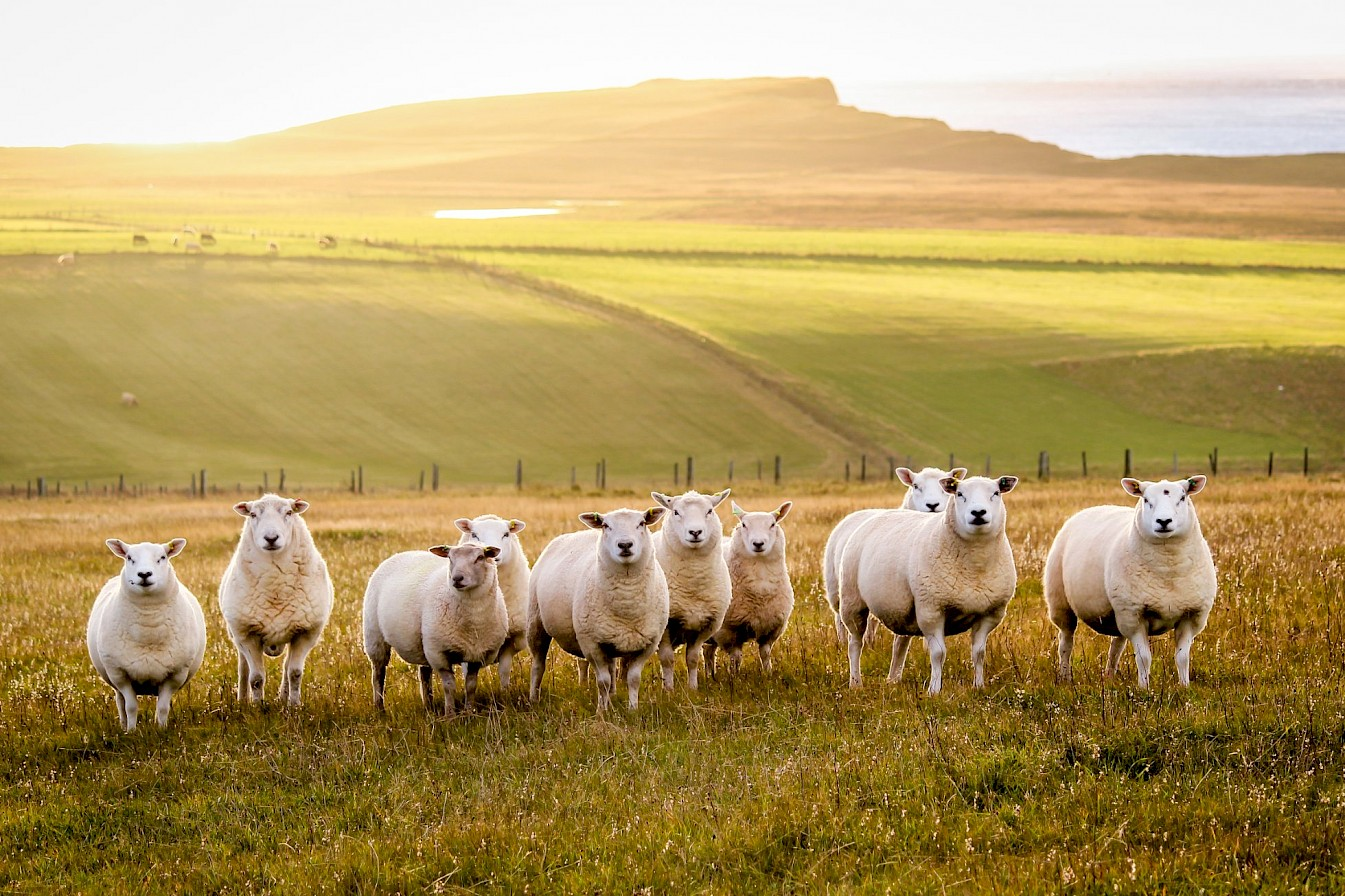Sheep at Greenquoy, South Ronaldsay - image by Kim McEwan