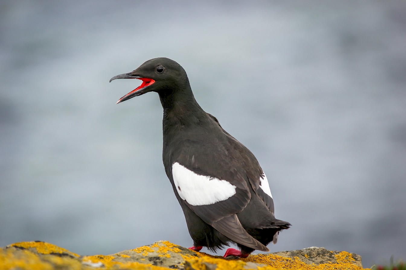 Tystie (black guillemot) in Orkney - image by Kim McEwan