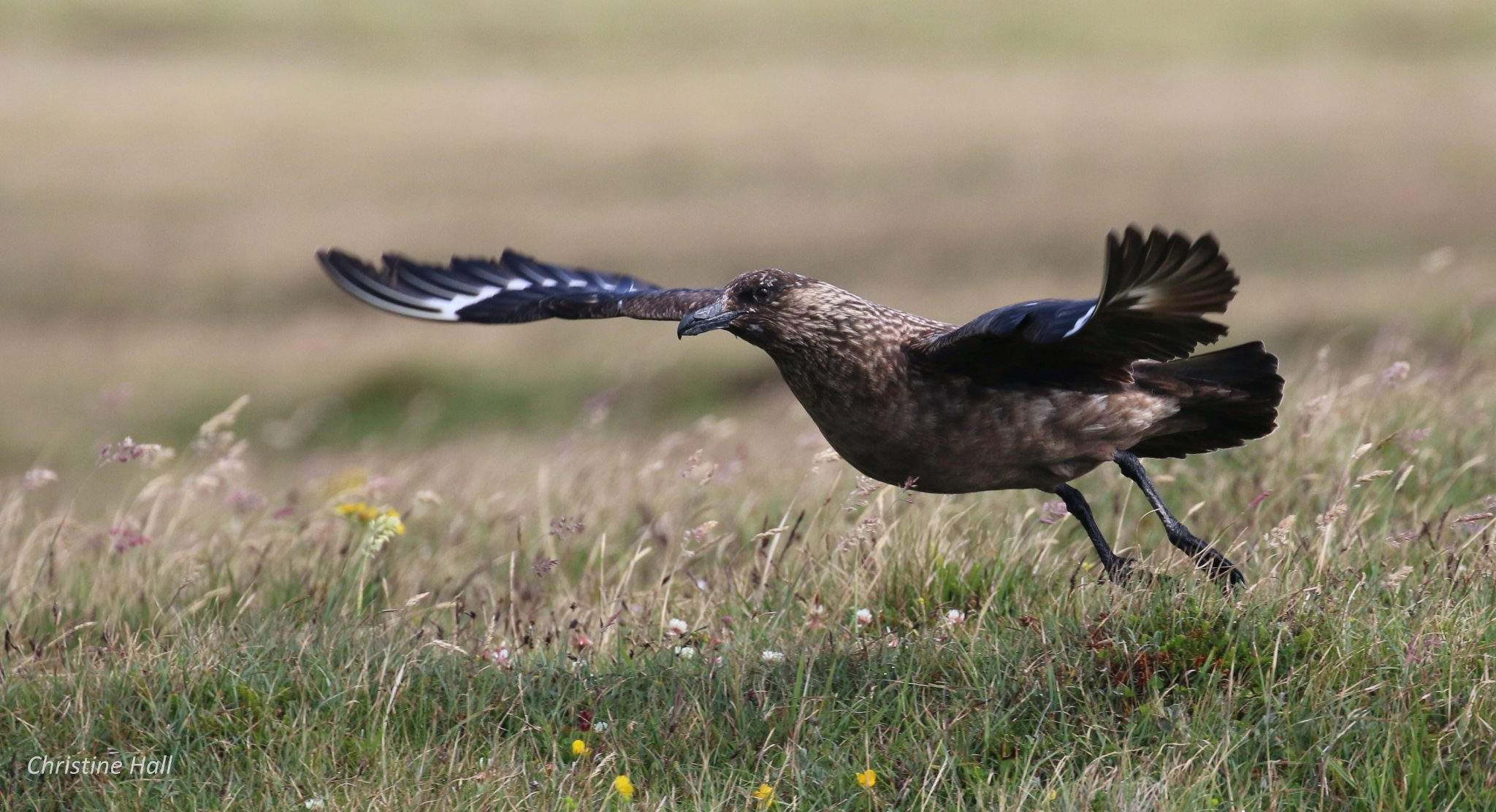 Bonxie in Orkney - image by Christine Hall