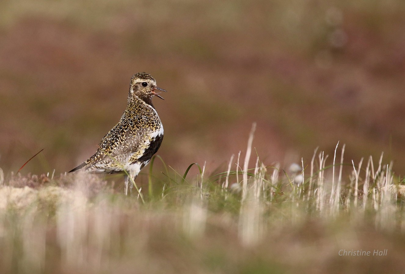 Golden plover in Rousay - image by Christine Hall