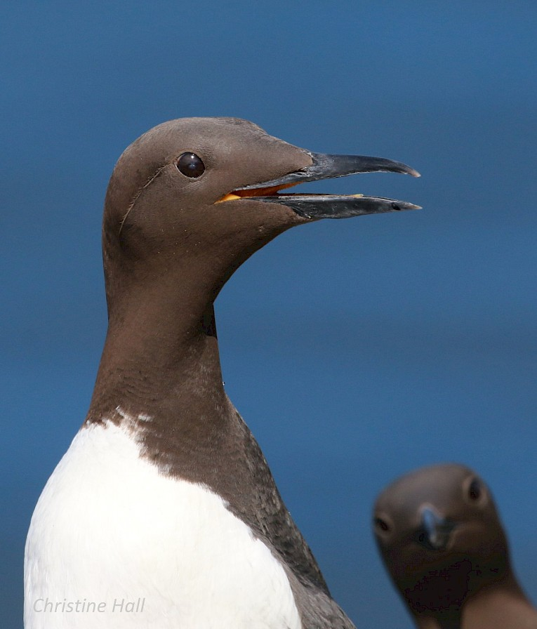 Guillemots in Copinsay, Orkney - image by Christine Hall