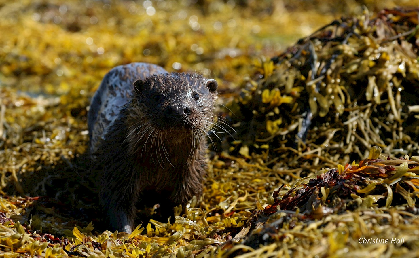 Close encounter with an otter in Westray - image by Christine Hall