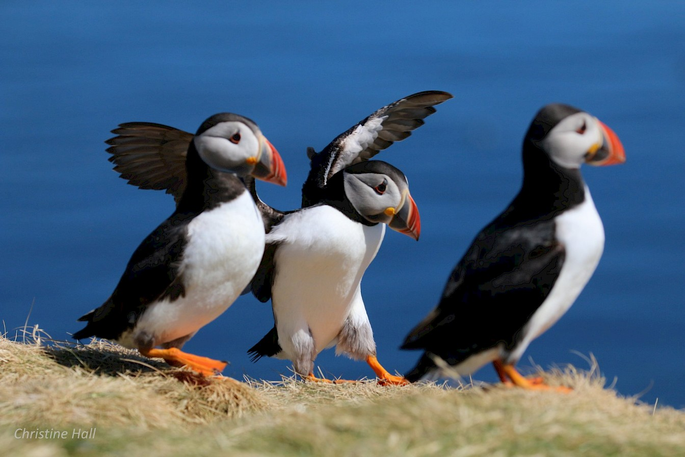 Puffins in Orkney - image by Christine Hall