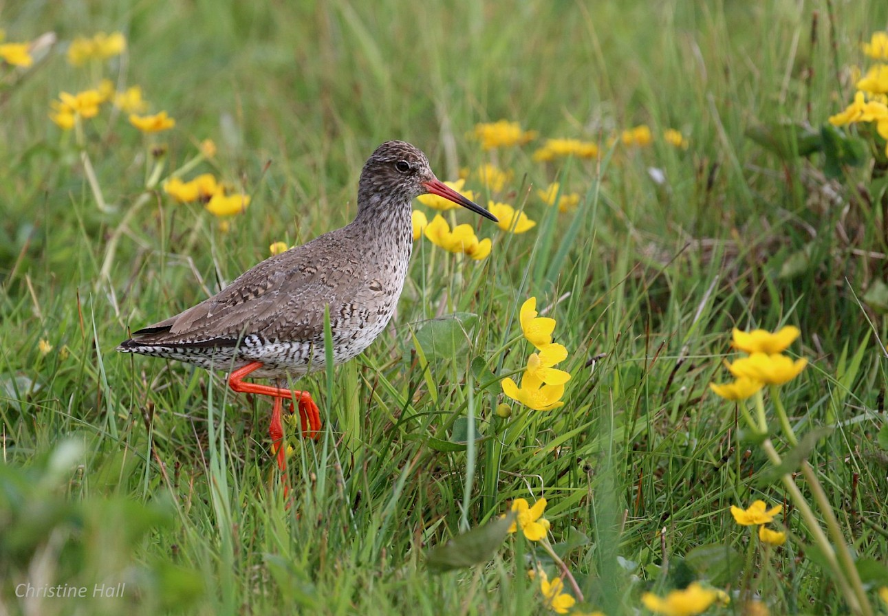 Redshank in Eday - image by Christine Hall