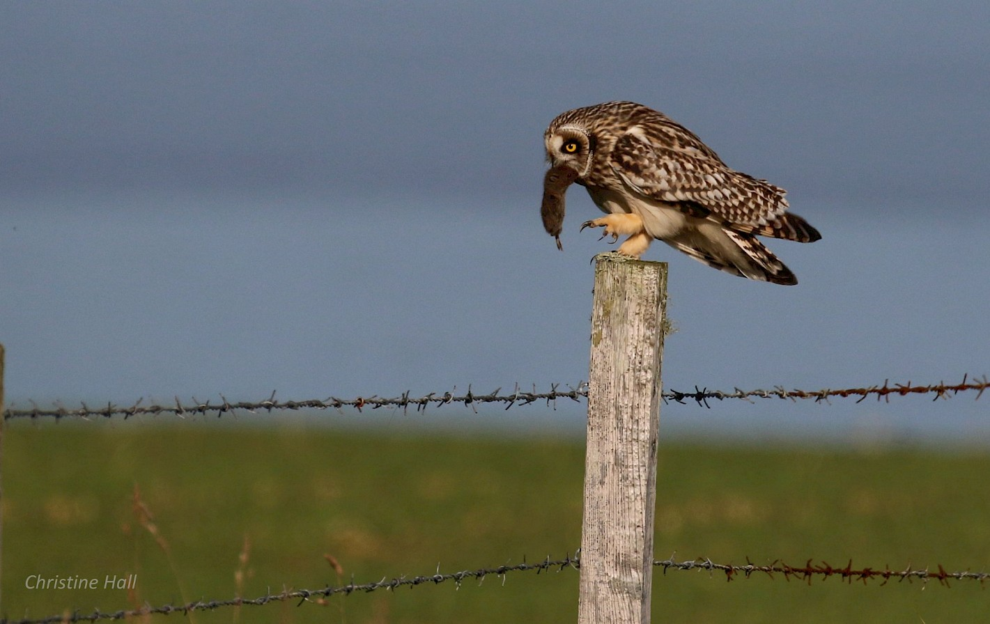 Short-eared owl with its catch in Eday - image by Christine Hall