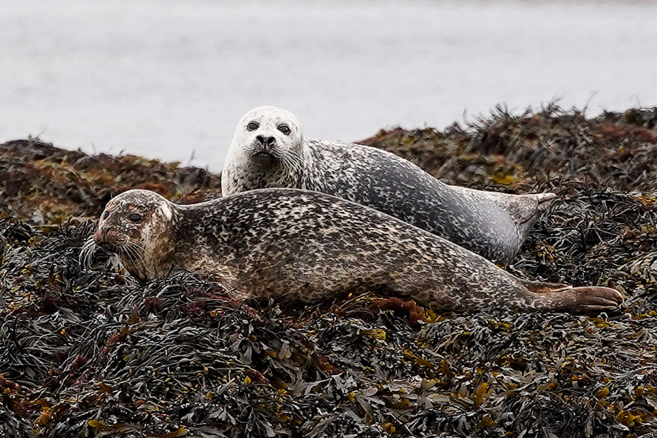 Seals at Hescome, Stronsay - image by Iain Johnston