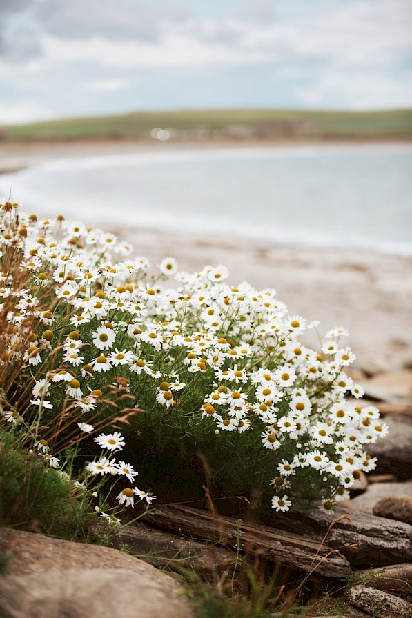 Coastal flowers at the Bay of Skaill, Orkney