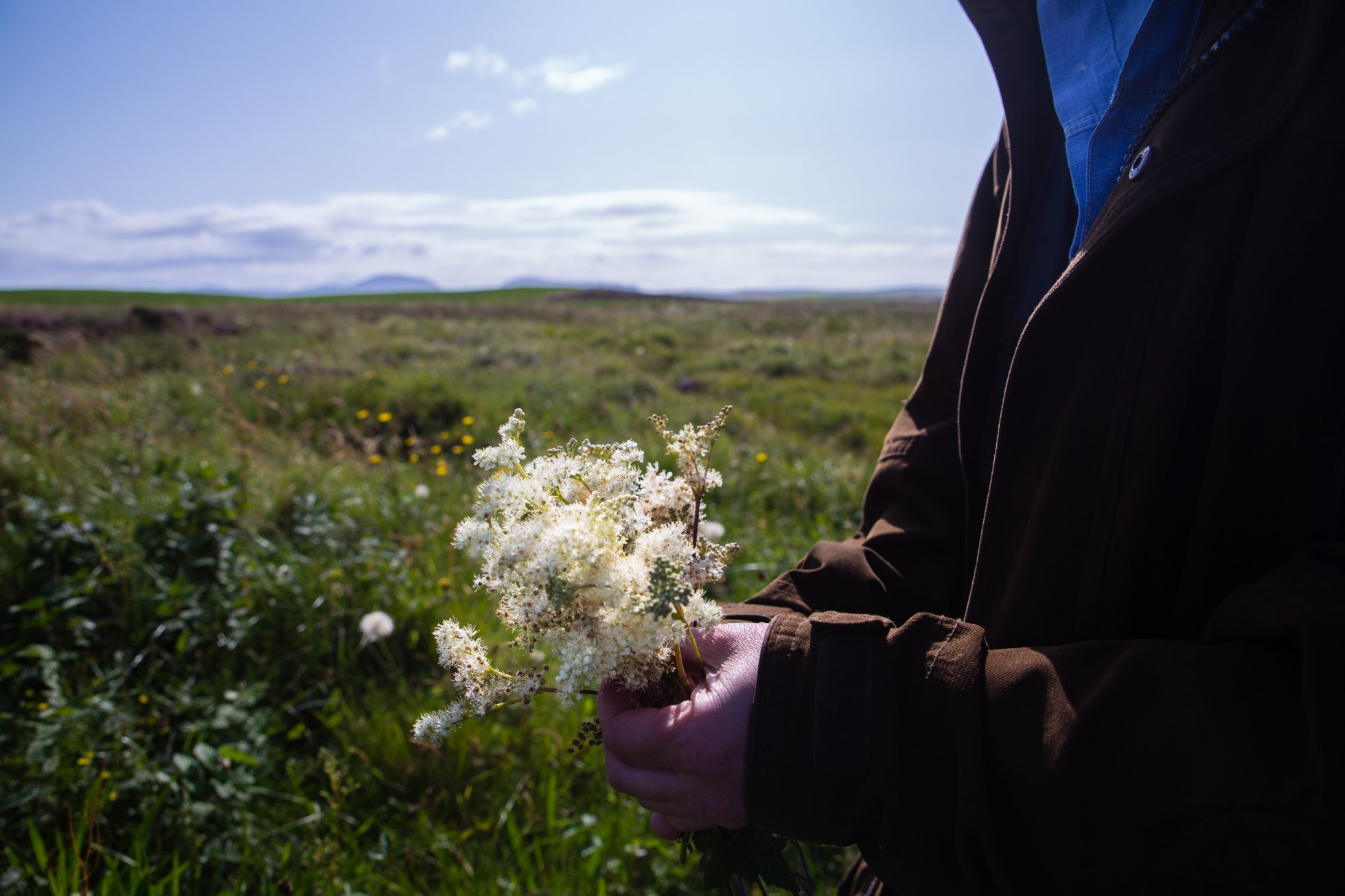 Foraging for meadowsweet in the Orkney countryside