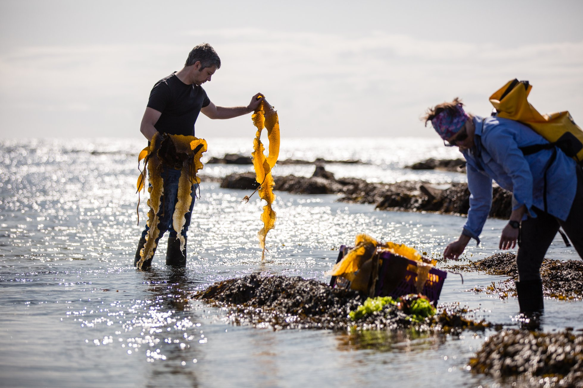 Sam and Annie Getchell collecting sugar kelp from the shallows at the Brough of Birsay, Orkney