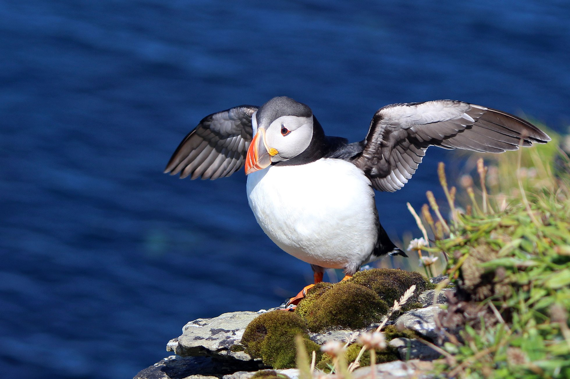 Puffin in Westray - image by Carol Leslie