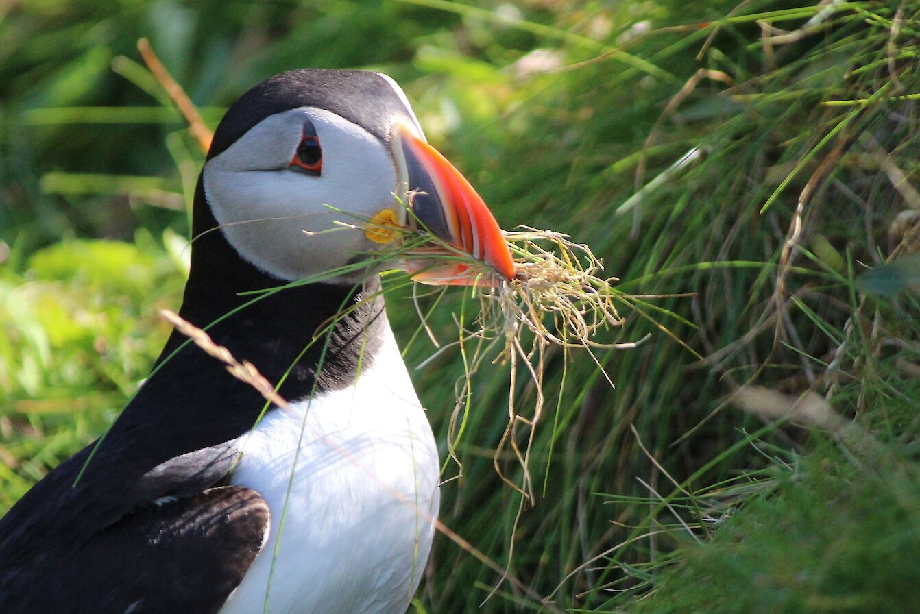 Puffin in Westray, Orkney - image by Carol Leslie