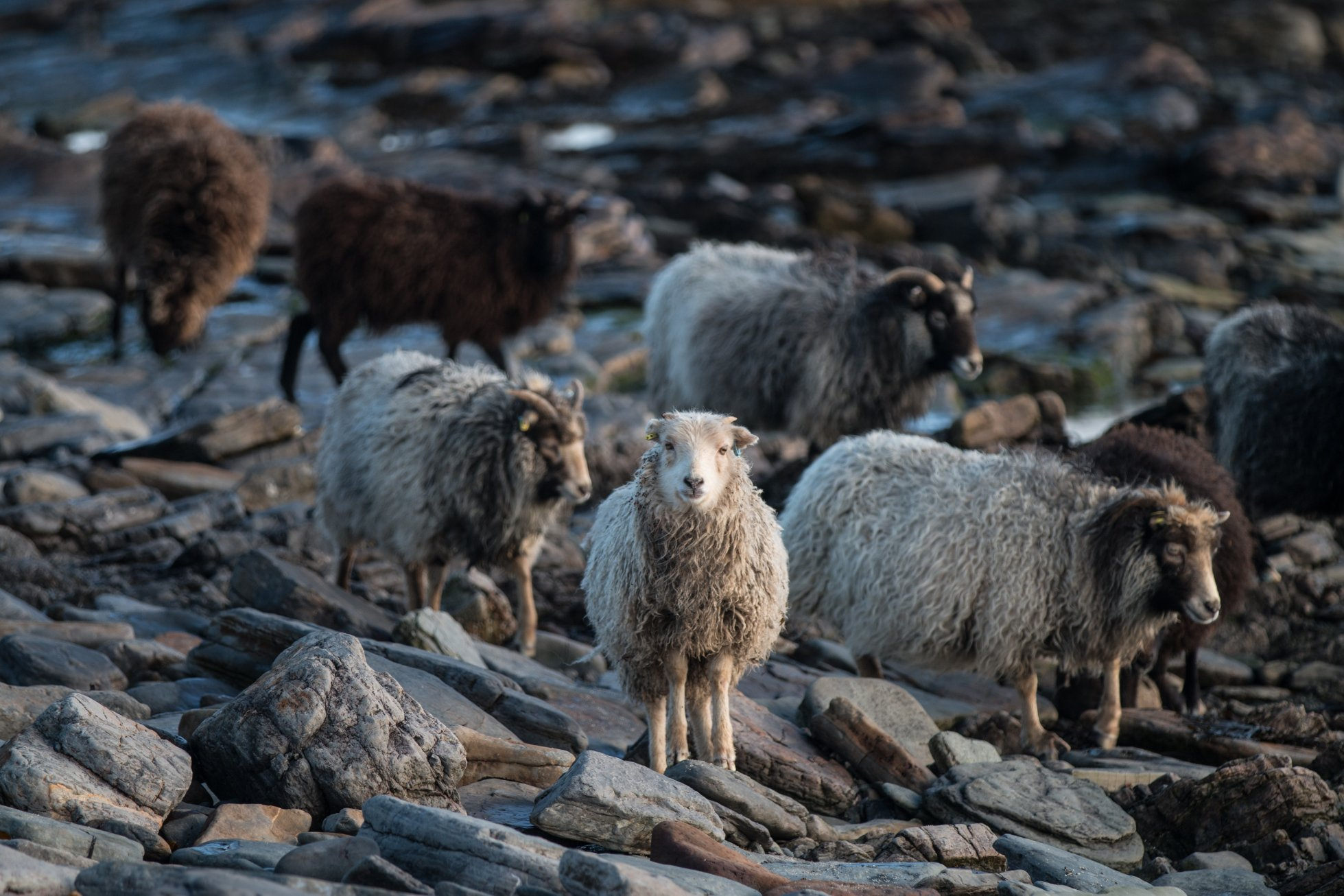 Some of North Ronaldsay's unique seaweed-eating sheep