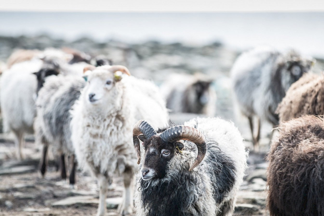 The North Ronaldsay sheep are a distinctive and unique breed