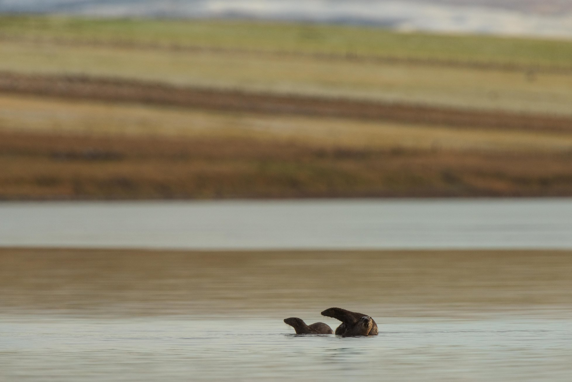Otter family in Stenness Loch - image by Raymond Besant