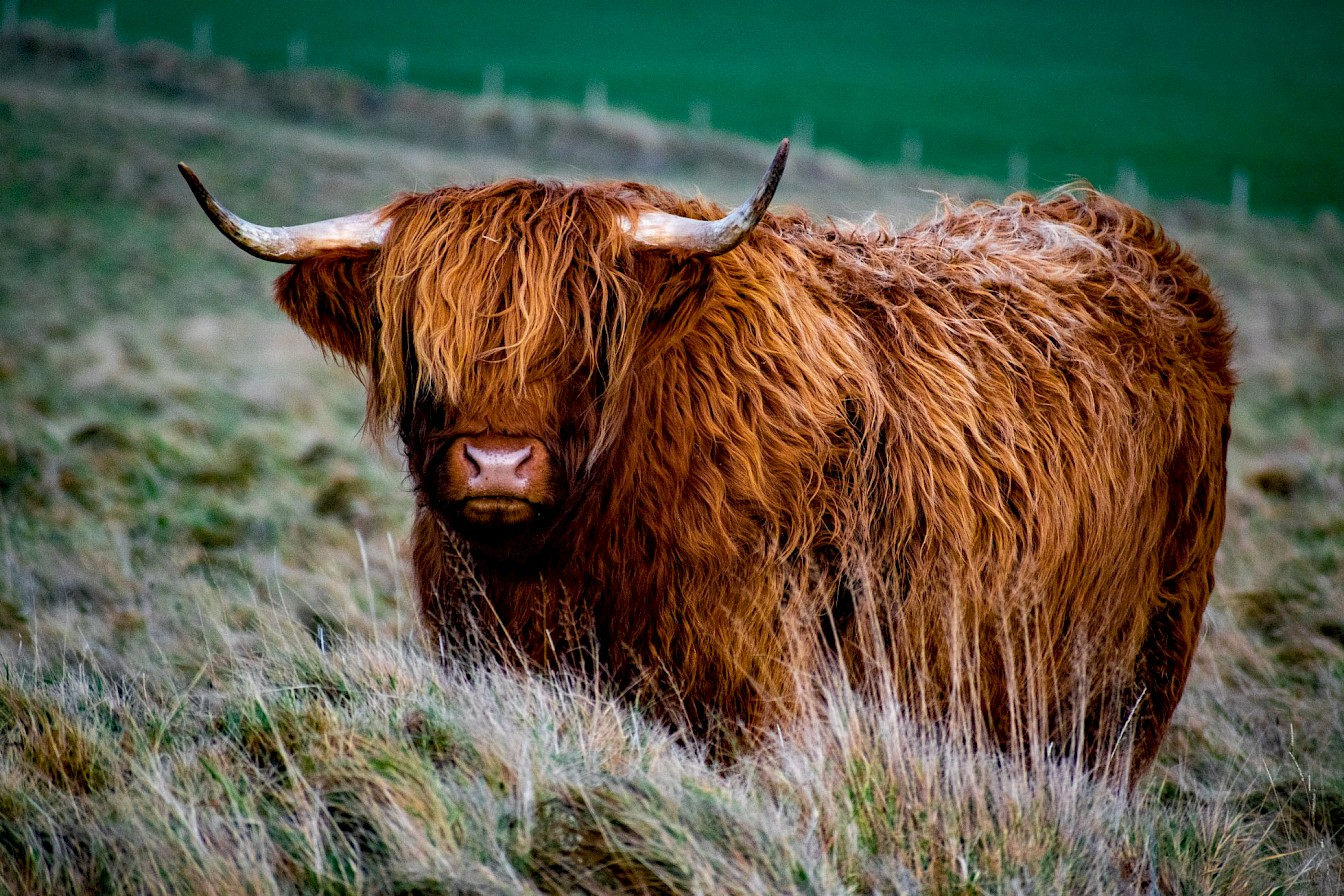 Highland cow in Orkney - image by Robert Towns