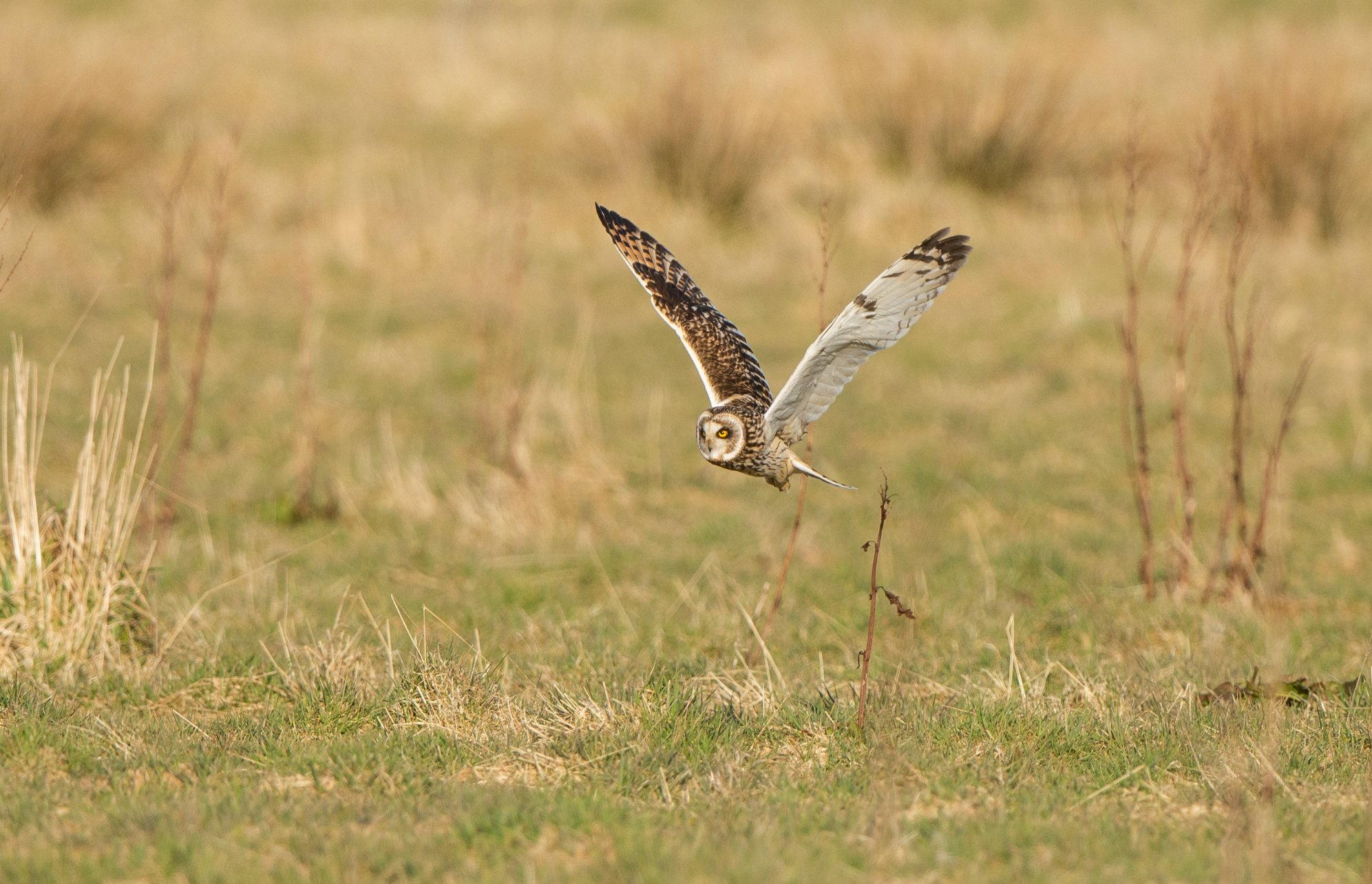 Short-eared owl in Orkney - image by Raymond Besant