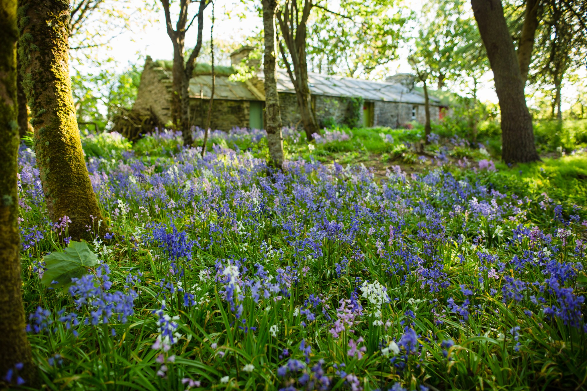 Bluebells at Happy Valley, Orkney