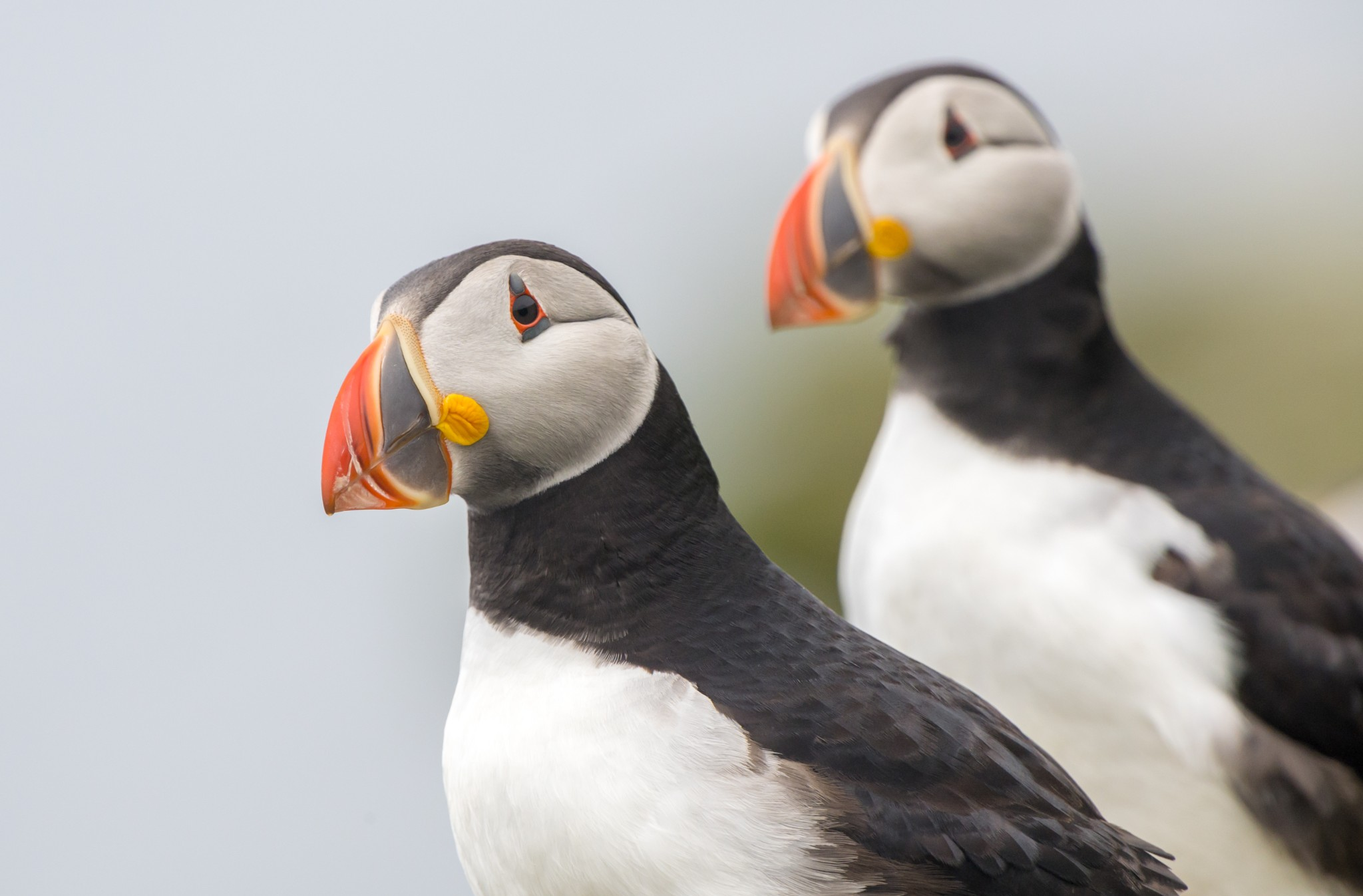 Puffins in Orkney - image by Raymond Besant