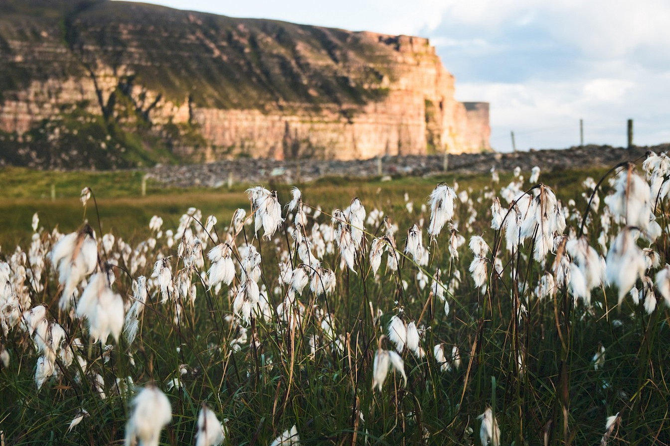 Bog cotton at Rackwick, Orkney - image by Ally Velzian