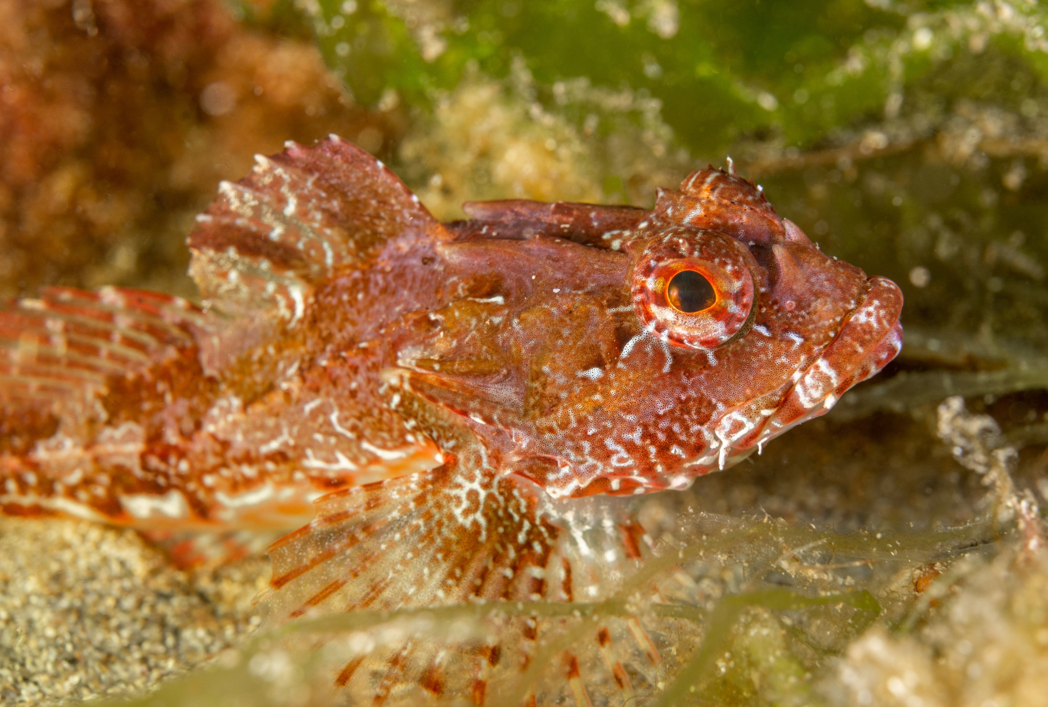 Long-spined scorpion fish in Orkney - image by Raymond Besant