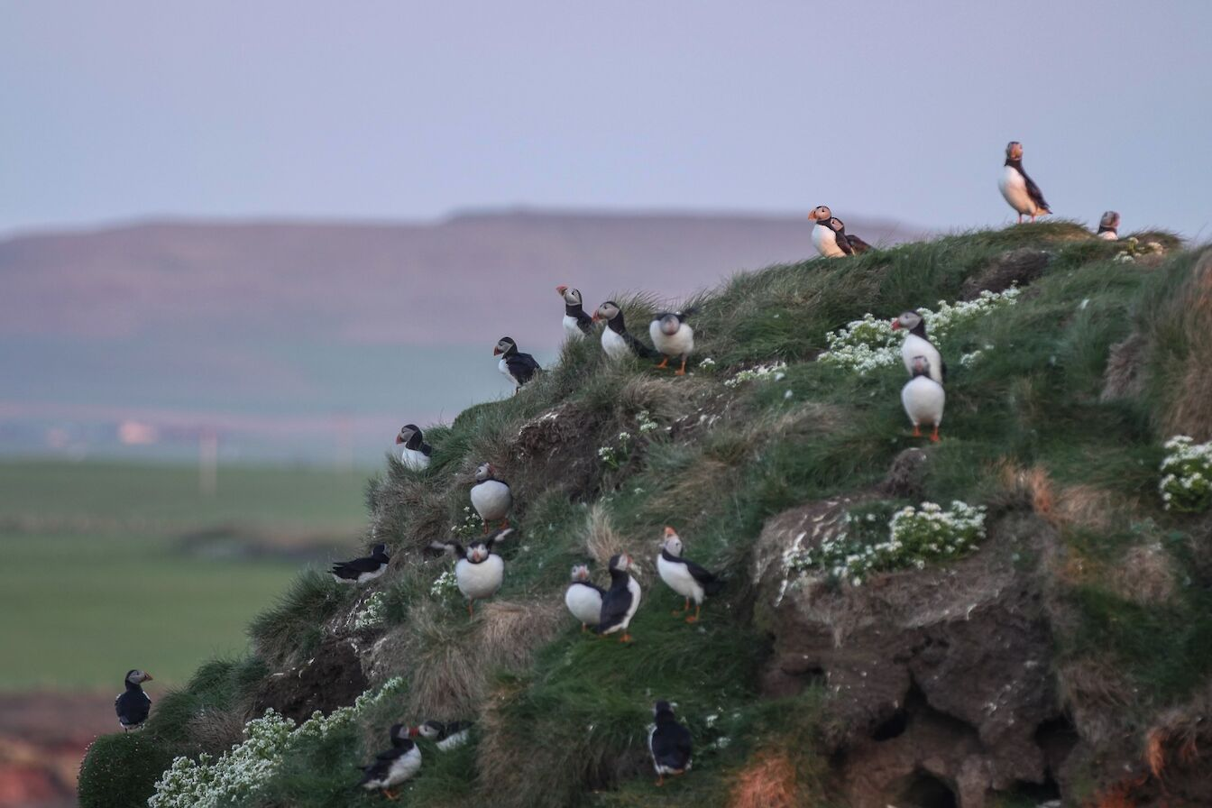 Puffins at the Castle o'Burrian in Westray, Orkney