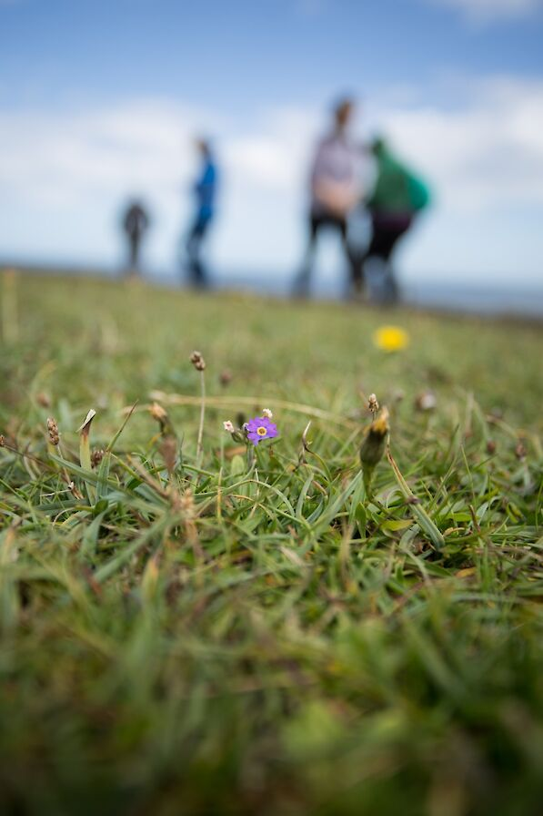 Scottish primrose in Papa Westray