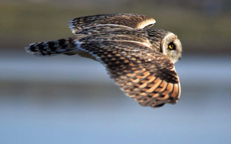 An inquisitive short-eared owl keeping a close eye on David's journey - image by David Gange