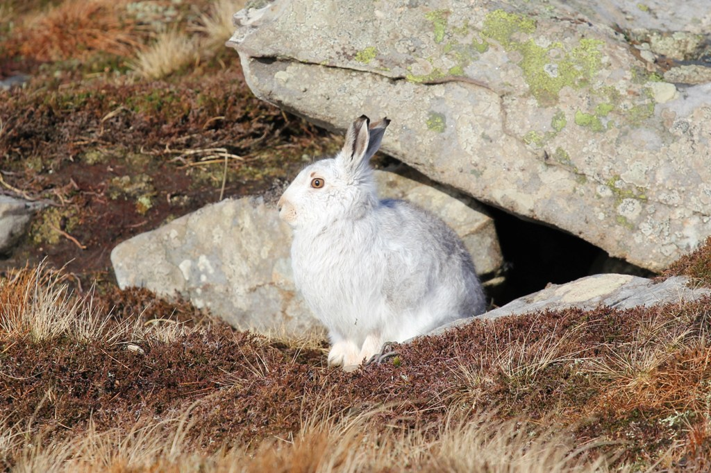 Mountain hare in Hoy, Orkney - image by Linda Heath