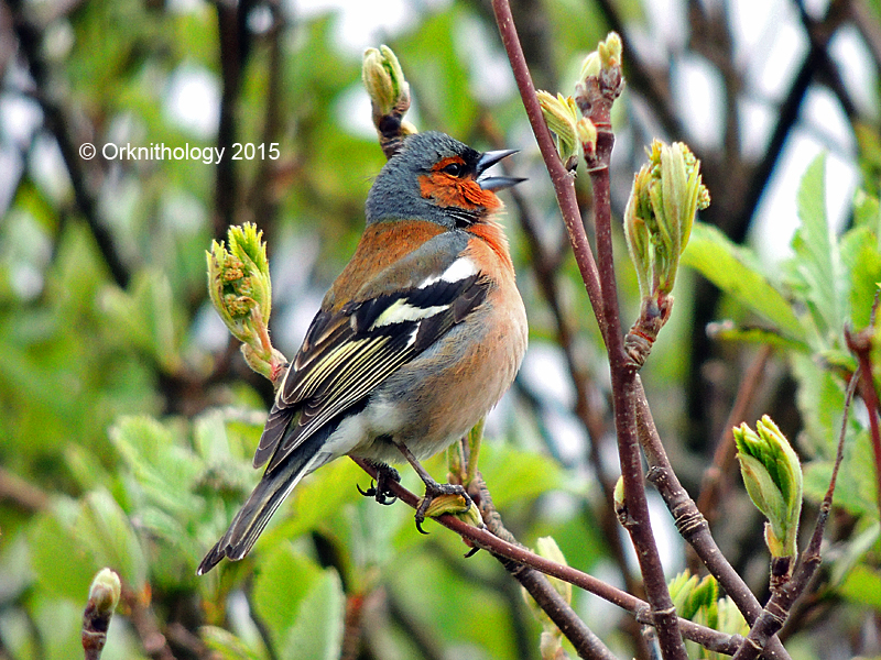 Chaffinch in Orkney - image by @orknithology on Twitter