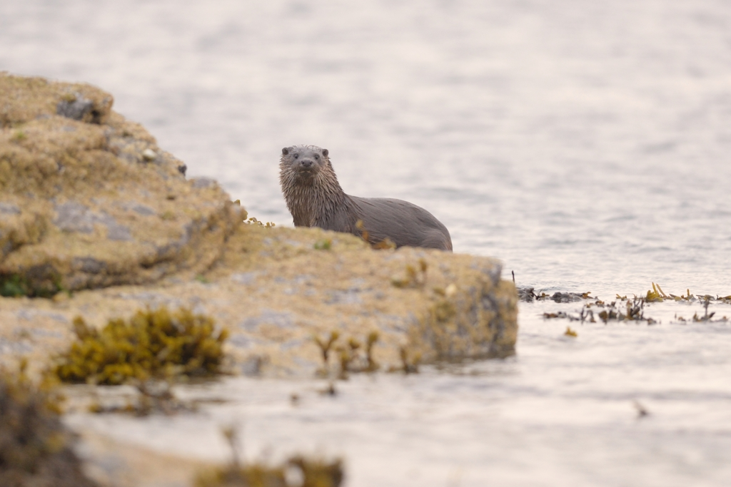 An Orkney otter - image by Adam Hough