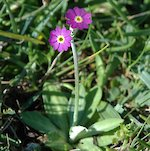 The beautiful Primula Scotica in Orkney