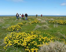 Marsh Marigolds on the Holms of Ire in Sanday - photo by Rod Thorne