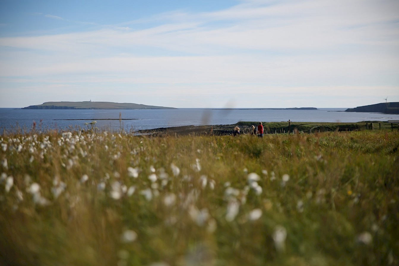 Bog cotton at Mull Head, Orkney