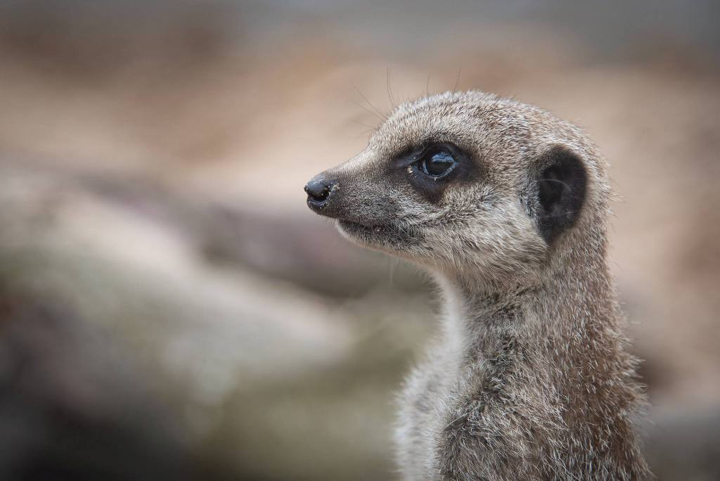 Hera the meerkat - one of the resident animals at the Fernvalley Wildlife Centre