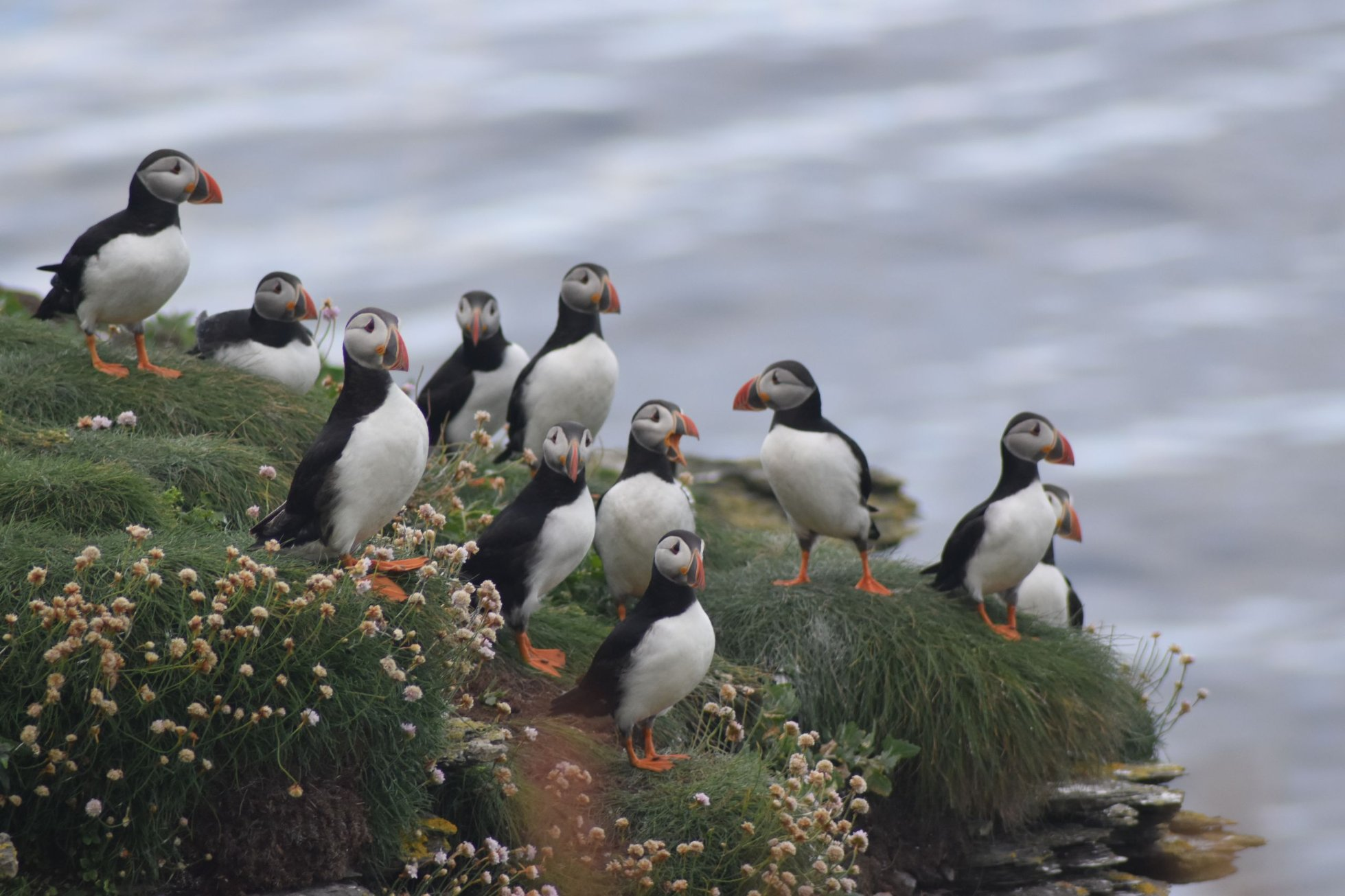 Puffins in Orkney - image by Nicole Windwick