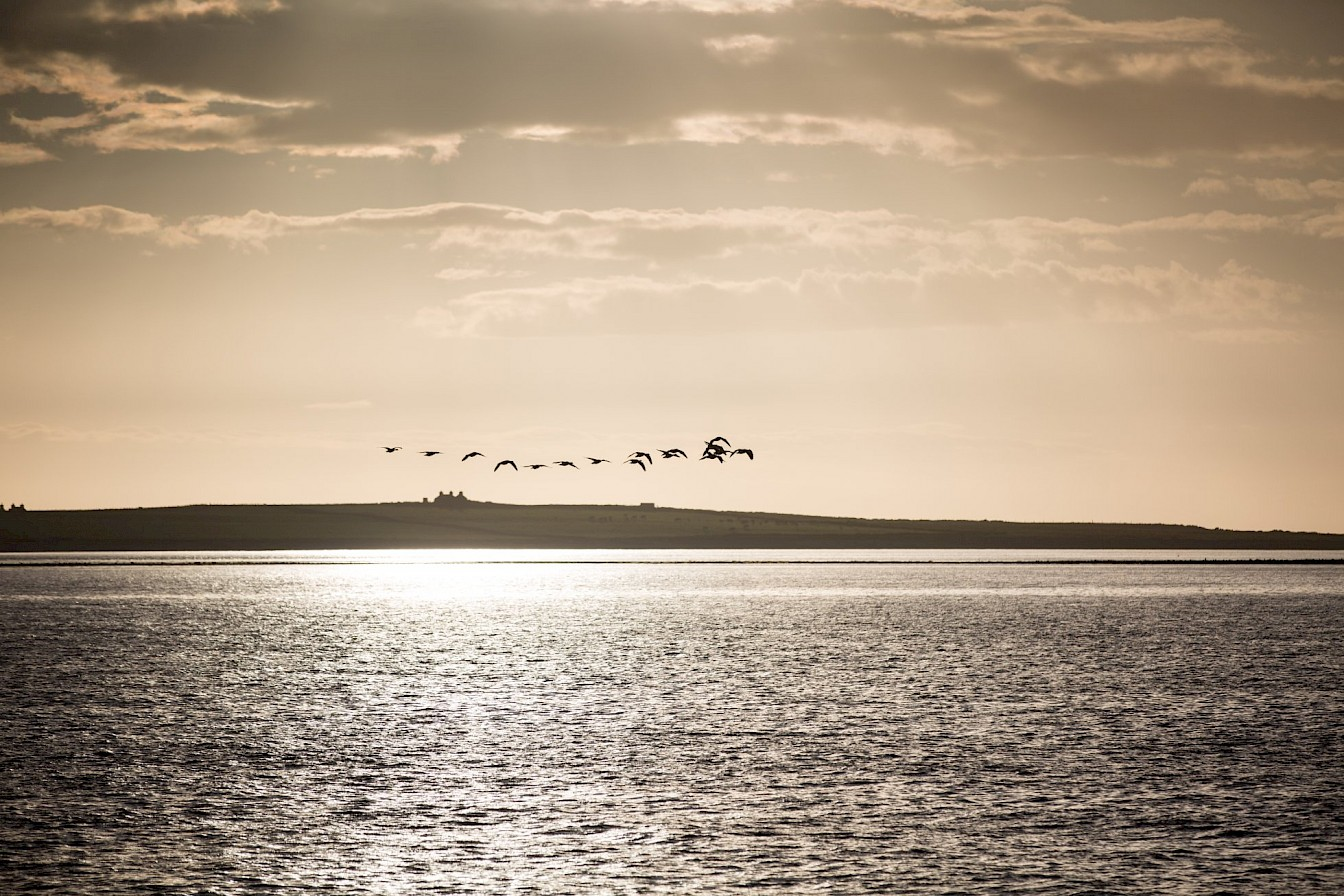 Geese over Papa Westray, Orkney