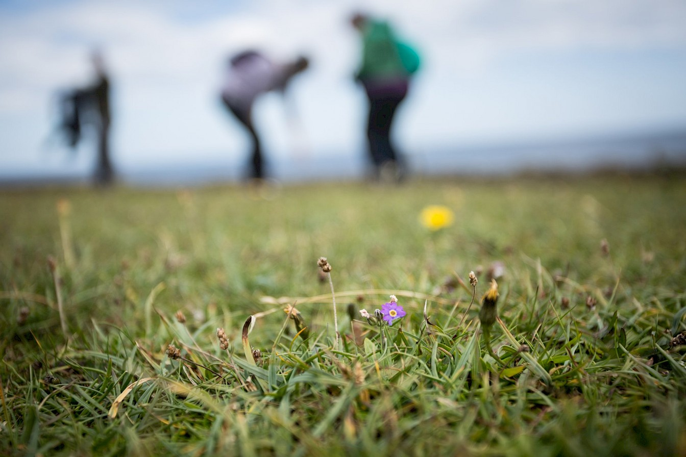 Searching for Primula scotica in Papa Westray, Orkney