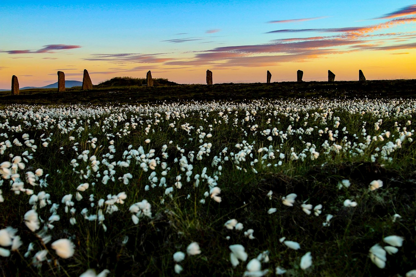 Wildflowers at the Ring of Brodgar, Orkney - image by Graham Campbell