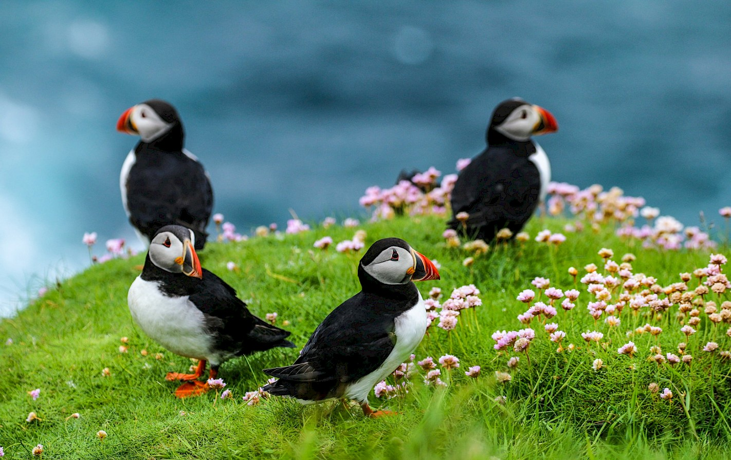 Puffins in Westray, Orkney - image by Graham Campbell